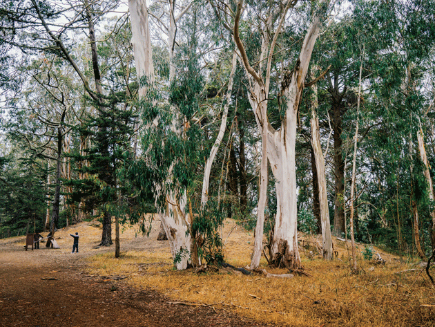 Photographs of eucalyptus trees in California by Chad Ress