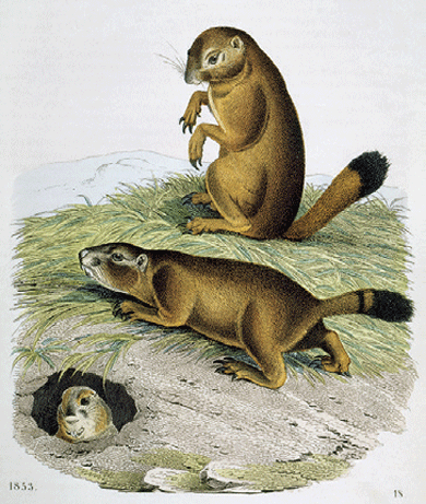 Black-tailed prairie dogs, 1853 © The Granger Collection, New York City